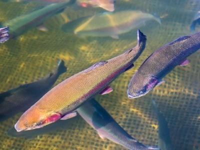trout_farm_aquaculture-495386-edited